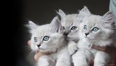 These 3 beauties are kittens from Eva and Mercury's litter. They are blue mitted minks in the lynx pattern, with aqua eyes. That is their natural eye color :)