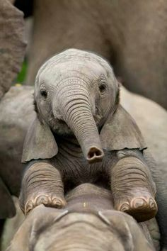 Upside down heart on baby elephant trunk - SO sweet! Beautiful Creatures, Animals Beautiful, Cute Baby Animals, Funny Animals, Elephas Maximus, Elephant Love, Baby Elephants, Elephants Photos, Happy Elephant