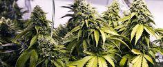 Mike Culter, affetto da un tumore al fegato, dichiara di aver curato il cancro tramite l'uso di olio di cannabis. Dopo solo 3 giorni i dolori erano spariti.