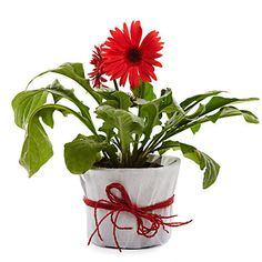 Want to buy flowering plants on the great occasion's #Christmas. http://bit.ly/1ruJa89