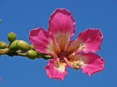 ¿Cuánto espacio necesita la Chorisia speciosa? - http://www.jardineriaon.com/cuanto-espacio-necesita-la-chorisia-speciosa.html #plantas