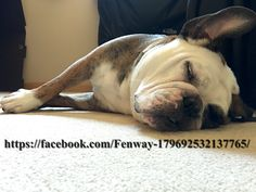 14June16 Fenway - Bulldogs - Napping - Ears - Bullfrogs - English - French