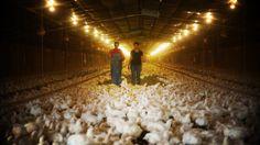 Chicken factory farmer speaks out