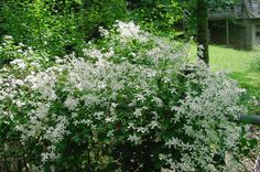 Virgin's bower, or clematis virginiana, our own native clematis vine
