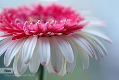 gerbera by kusoksveta. Please Like http://fb.me/go4photos and Follow @go4fotos Thank You. :-)