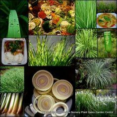 Lemon Grass Pot Plants $29.90