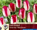 Tulip Bulbs (Triumph) Just Kissed 6/pk
