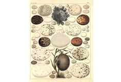 Bird Eggs & Nests, 1840
