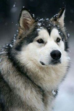 The Alaskan Malamute.like a husky but larger! they are also the official dog of Alaska NOT the husky which everyone assumes is :D Husky Malamute, Alaskan Malamute Puppies, Husky Puppy, Beautiful Dogs, Animals Beautiful, Cute Animals, Beautiful Dog Breeds, Baby Animals, Funny Animals