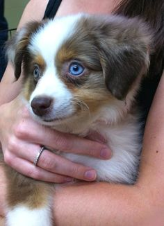 Toy Australian Shepherd aww so cute Mini Australian Shepherds, Australian Shepherd Puppies, Aussie Dogs, Puppies And Kitties, Cute Puppies, Pet Dogs, Dog Cat, Doggies, Like Animals