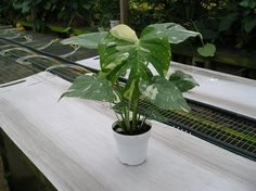 Cool.  Cheesecake Philodendron.  Nice marbling on a great low light plant.