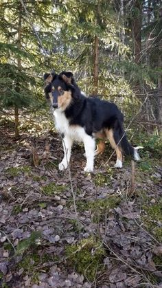 After winter, there is totally a new world to find and to sniff around. Rough Collie Puppy, Collie Puppies, Husky, Corgi, Joy, Spring, Animals, Corgis, Animales