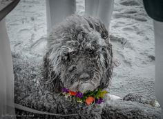 Isolated b/w and color edited doggie at beach wedding