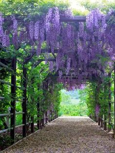 This is really pretty, but just think about grapes! Types of Plants for Arches and Pergolas...another plant I want, Wisteria, over pergola - Mari