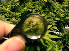 A view of marijuana trichomes through a jewler's loupe