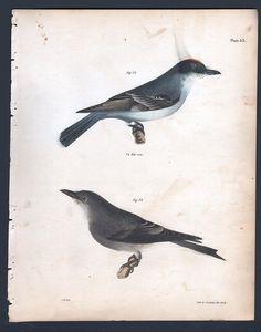 Kingbird - Original 1845 DeKay H/C Bird Print