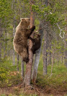 Climbing with Mom--Brown bears by Dalia Kvedaraite on Animals And Pets, Baby Animals, Cute Animals, Nature Animals, Wild Animals, Mundo Animal, My Animal, Beautiful Creatures, Animals Beautiful