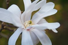 Magnolia Blossom @ F.A. Seiberling Nature Realm, Akron, OH, photo by volunteer Kevin Lanterman
