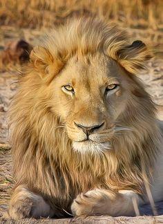 Leão, Safari, África, Predador