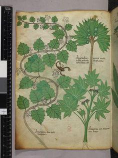 Escorpión entre las hojas del Sloane 16