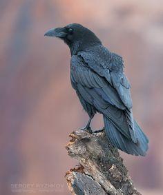 "radivs: ""Raven (Corvus Corax) by Sergey Ryzhkov """