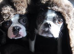 These Two Boston Terriers from Germany are SO Sweet Together Under a Cozy Furry Blanket! ► http://www.bterrier.com/?p=26925 - https://www.facebook.com/bterrierdogs