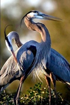 Mr and Mrs Great Blue Heron by Betty Wiley (cropped) Pretty Birds, Beautiful Birds, Animals Beautiful, Exotic Birds, Colorful Birds, Nature Animals, Animals And Pets, Photo Animaliere, Fotografia Macro