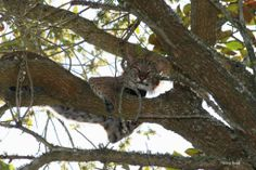 Bobcat in the tree.