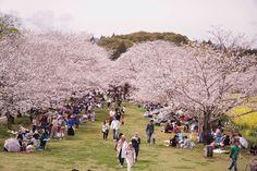 Hanami in the middle of cherry blossom. Sakura!