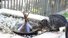 Kitty drinking from water fountain. Drinking Water, Fountain, Royalty Free Stock Photos, Kitty, Animals, Little Kitty, Animales, Animaux, Water Well