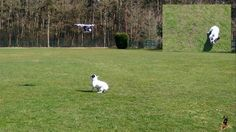 Little French Bulldog Chasing a Yuneec Q500 drone