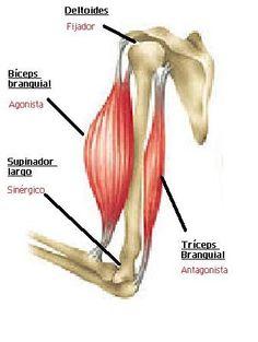 Músculo agonista, antagonista, sinergico y fijador