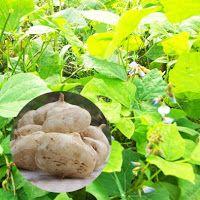 MEDICINAL PLANTS: 14. BENGKUANG (Pachyrrhizus erosus URB.)Some plant...