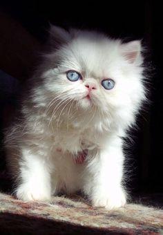 Fotos de gato persa filhote branco de olhos azuis com pedigree Guarujá