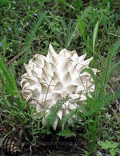"Sculptured puffball (Calvatia sculpta) The Calvatia sculpta is edible, and said to be ""choice"" by some"