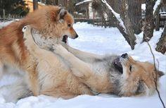 Uno (Cloudys Bay's Columbo) und Teuvo. Eurasier, Eurasian dogs.