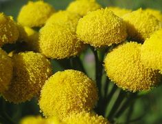 tansy plants get rid of cucumber beetles