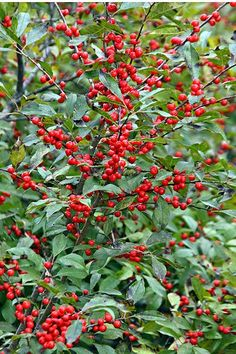 How to Grow Winterberry Holly - Gardening Channel