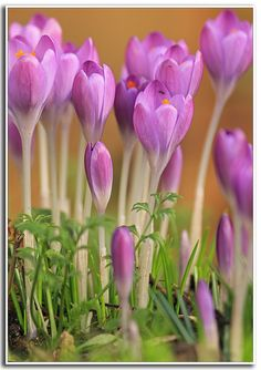 Crocus...The first sign spring is coming! I love seeing them poke thru the ground.