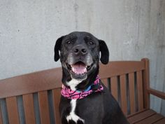 """SUGAR - A0891886 - - Brooklyn TO BE DESTROYED 03/10/17 A volunteer writes: A dark beauty flecked with gray, Sugar melts at the subtlest signs of warmth, though she may not show it at first. Mostly quiet in her kennel, she growls softly and has a funny """"smile"""" for strangers who approach. (A sensitive soul, she must feel especially disoriented here: She was a beloved pet with her housemate Coco until their owner passed away.) It's all for show. Sugar may be"""