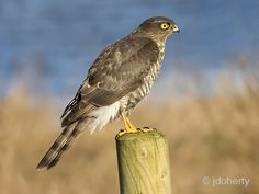 Common raptor in Ireland, protected species. Male has blue-grey upperparts and barred red-brown underparts and is smaller than the female. Sparrowhawk, Protected Species, Bird Book, British Wildlife, Small Birds, Exotic Birds, Birds Of Prey, Raptors, Wild Birds