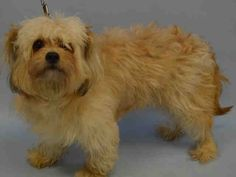 PULLED BY ZANI'S FURRY FRIENDS - 07/24/15 - TO BE DESTROYED - 07/23/15 - JELLY - #A1044580 - Urgent Manhattan - CREAM AND BROWN MALTESE MIX, 5 Yrs - FOUND IN NY 10454 on 07/18/15