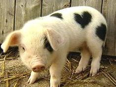 Cute pig with a heart