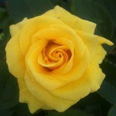 Korresia Floribunda Rose
