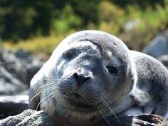 Seal in Bar Harbor Maine