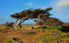 Wind Shaped Cypress Trees - Monterey Peninsula Country Club in Pebble Beach, CA - Mark Bruno Photography