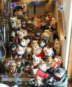 Can you ever have too many Chihuahuas? #chihuahua