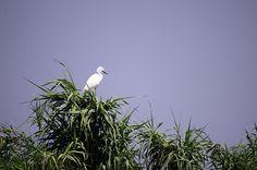 little egret by Watze D. de Haan