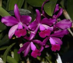 Orchid Cattleya Bactia 'Grape-Wax'