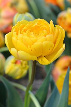 Yellow Double Bloom Tulip. One Million Tulips